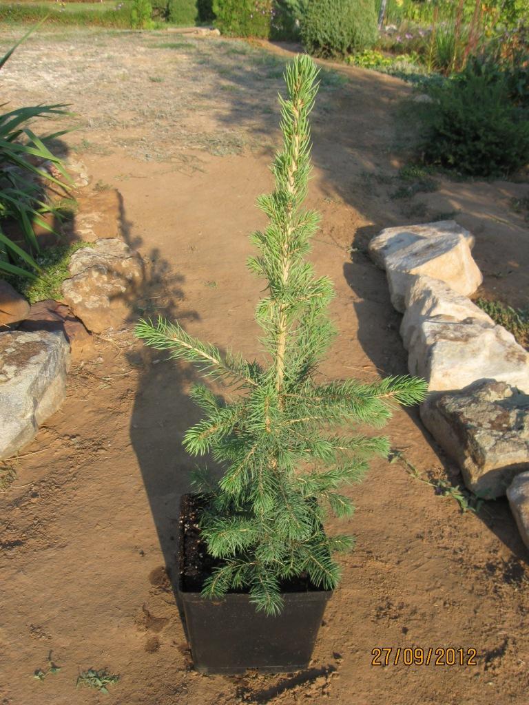 Выращивание можжевельника дома 4